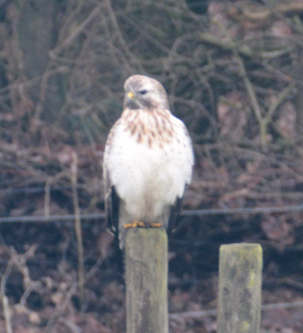 Buizerd in Winterpak
