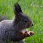 Geen corona beperkingen voor de eekhoorn…