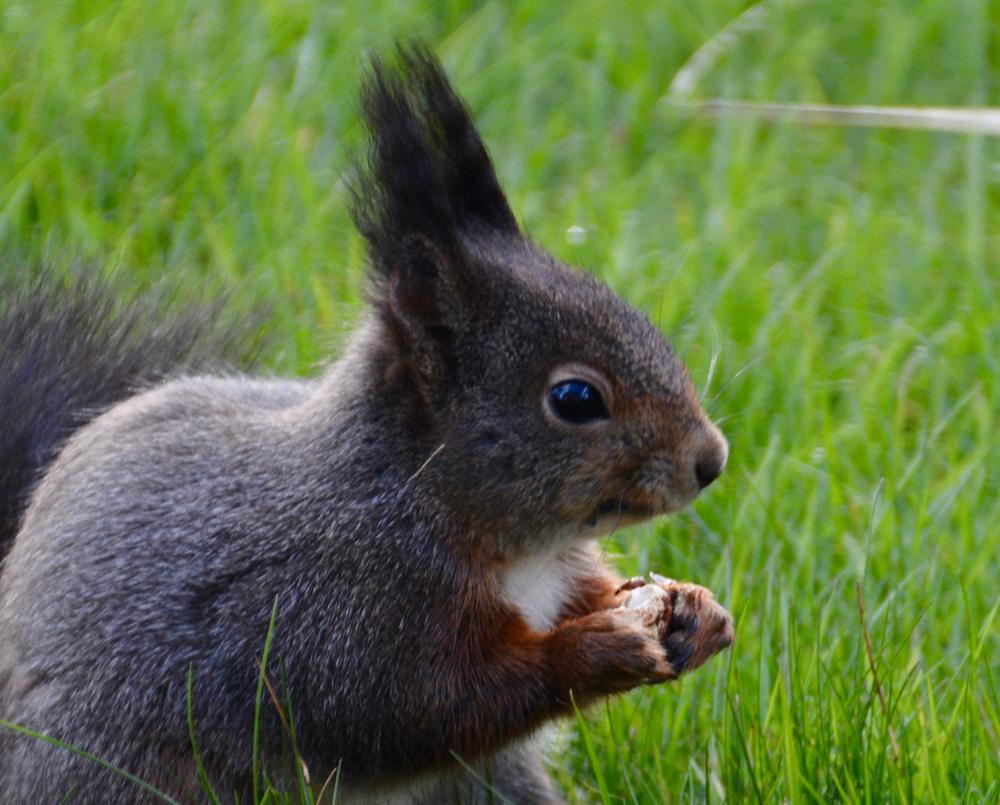 Je bekijkt nu Geen corona beperkingen voor de eekhoorn…