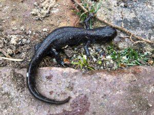 Alpenkam-salamander in de moestuin