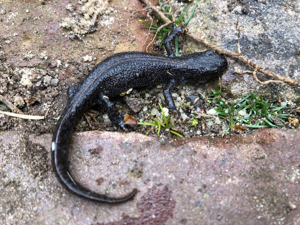 Je bekijkt nu Alpenkam-salamander in de moestuin