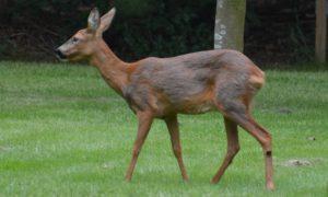 Lees meer over het artikel Ree op bezoek achter in de tuin